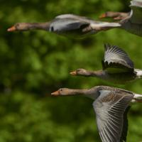 イミダペプチドは持久力の強い渡り鳥の成分